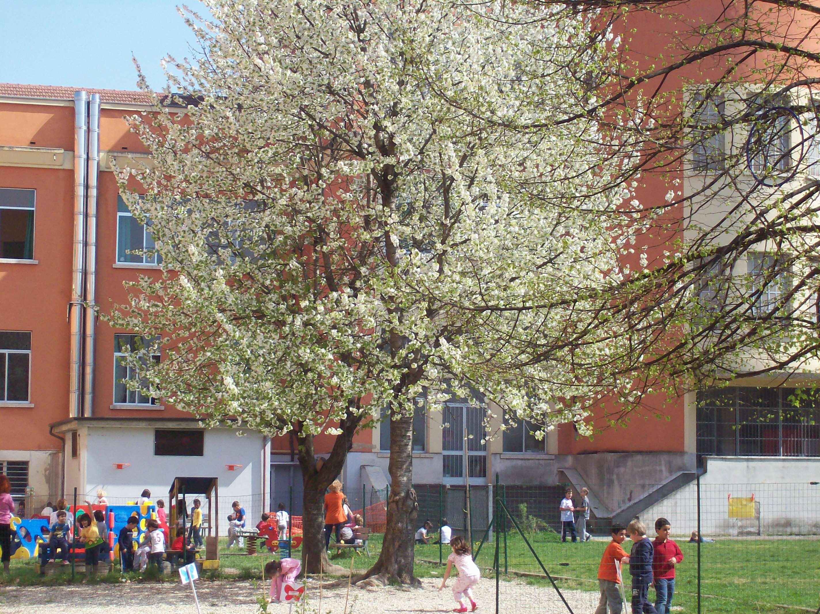 I ciliegi selvatici fioriti in primavera